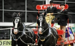 Thwaites Shire Horses showing in arena